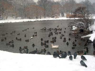 duck central park snow nyc